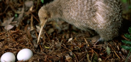 Kiwi at Eagles Nest, Russell, Bay of Islands, New Zealand